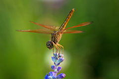 Dragonfly on blue flower. In the garden Stock Images