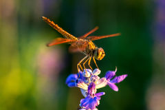 Dragonfly on blue flower. In the garden Royalty Free Stock Images
