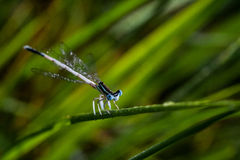 Dragonfly. Blue gragonfly near a pond Royalty Free Stock Photos