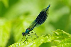 Dragonfly. Blue dragonfly on a green leaf Royalty Free Stock Photos