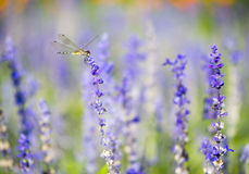 Dragonfly on blue salvia1 stock images