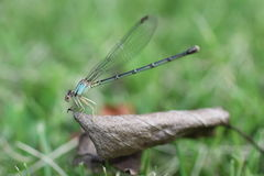 Dragonfly Blue Royalty Free Stock Photos