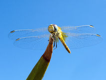 Dragonfly in blue sky stock images