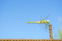 Dragonfly. With blue sky background Royalty Free Stock Photography