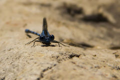 Dragonfly. Blue dragonfly staring at us Stock Image