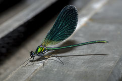 Dragonfly with blue wings Royalty Free Stock Images