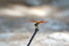 The Dragonfly in Blur Background. Closeup Photo of a Beautiful Dragonfly on a Tree Branch in Blur Background stock images