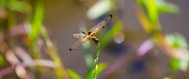 Dragonfly and blur nature beautyful Royalty Free Stock Images