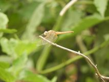 Dragonfly with blurred background. Dragonfly also called as Anisoptera with blurred background Royalty Free Stock Image