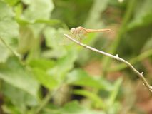 Dragonfly with blurred background. Dragonfly also called as Anisoptera with blurred background Stock Photo