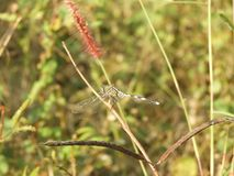 Dragonfly with blurred background. Dragonfly also called as Anisoptera with blurred background Royalty Free Stock Photo