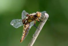 Dragonfly - Bodied łowca - boczny widok zdjęcie royalty free