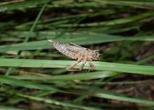 Dragonfly boginki pupa skorupa na trawie zdjęcie royalty free