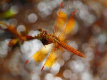 Dragonfly on bokeh Stock Photos