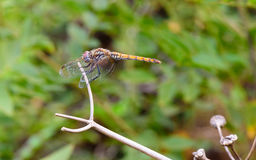 Dragonfly in the bowels of three dry branches Royalty Free Stock Images