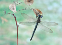 Dragonfly Brachytron pratense Royalty Free Stock Images