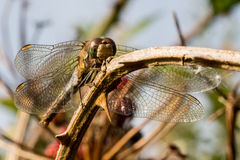 Dragonfly on Bramble Royalty Free Stock Image