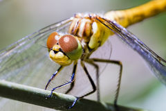 Dragonfly on Branch  Royalty Free Stock Image