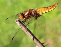 Dragonfly on a branch. Dragonfly sits on a branch Royalty Free Stock Photography