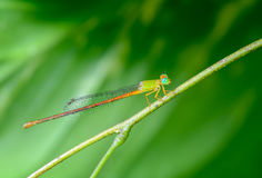 Dragonfly on branch. Beautiful dragonfly on branch with green background Stock Image