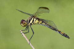 Dragonfly on a branch Stock Photography
