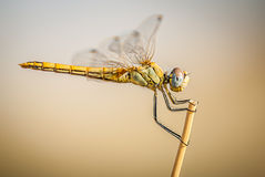 Dragonfly on branch with flat bottom and space for text Stock Photography