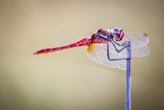 Dragonfly on branch with flat bottom and space for text Stock Photos
