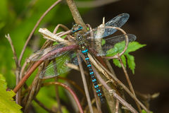 Dragonfly on a branch. Royalty Free Stock Photography