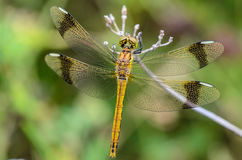 Dragonfly on a branch. Dragonfly perched on a branch for rest Stock Photos