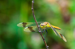 Dragonfly on a branch. Dragonfly perched on a branch for rest Stock Photo