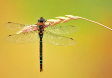 Dragonfly. Branch plant wings hollow transparent horizontal nature insect flight yellow green Royalty Free Stock Images
