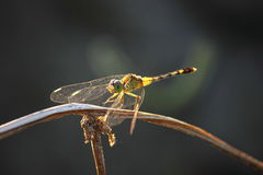 Dragonfly on the branch Royalty Free Stock Photo