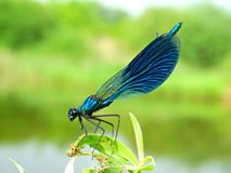 Dragonfly on branch. Spring season summer fly wings nature insect Royalty Free Stock Photo