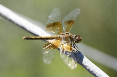 Dragonfly on a branch in summer.  Stock Images