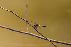 Dragonfly on branch Stock Image