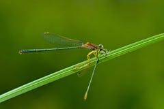 Dragonfly breakfast Stock Photo
