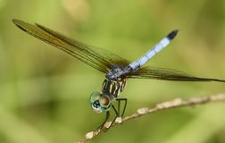 Dragonfly with bright green eyes. Closeup of a dragonfly with bright green eyes Royalty Free Stock Photos