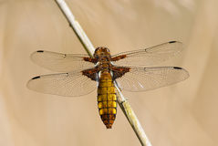 Dragonfly - Broad bodied chaser Stock Images