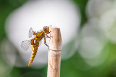 Dragonfly. Broad bodied chaser Libellula depressa on a halm Stock Images