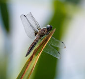 Dragonfly with a broken wing Stock Image