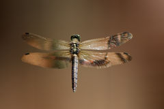 Dragonfly. On brown background , close up Stock Photography