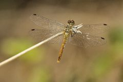 Dragonfly on brown background. Dragonfly on grass-blade and brown background Royalty Free Stock Photography