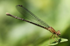 Dragonfly Brown Royalty Free Stock Images