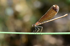 Dragonfly. Brown dragonfly on the steam Stock Images