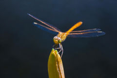 Dragonfly on bud Royalty Free Stock Images
