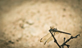 Dragonfly on bush branch Stock Images