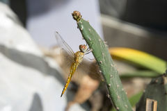 Dragonfly on a cactus. Cactus cactus docked, rare pictures, very good material background Stock Photo