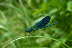 Dragonfly Calopteryx Royalty Free Stock Images