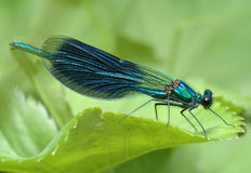 Dragonfly Calopteryx splendens Royalty Free Stock Image