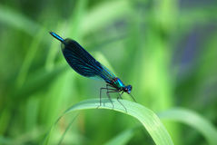 Dragonfly Calopteryx splendens, blue male. The dragonfly the beauty brilliant, Calopteryx splendens, a blue male sits to a nazeleny blade. Focus on beautiful Stock Photos